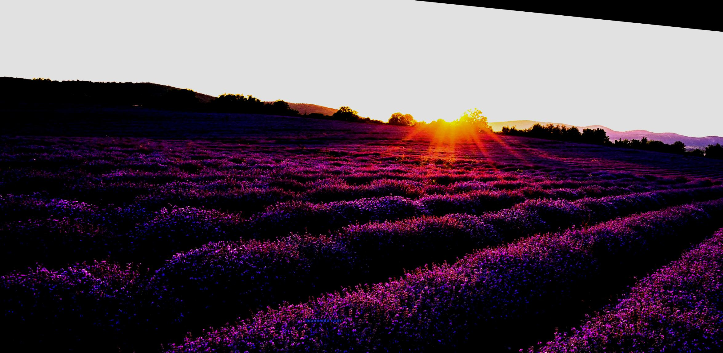 Lavender fields in the Krasnodar Territory 2021: Kuban Tuscany