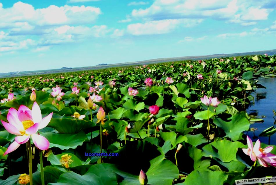 Krasnodar Territory never ceases to amaze with its miracles! We suggest you visit one of the brightest places on the Taman Peninsula - the Indian lotus valley. A great many myths and legends are associated with lotuses. It is a mysterious and sacred flower in India, China and Egypt.