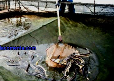 How to Succeed in the Fish Breeding Business