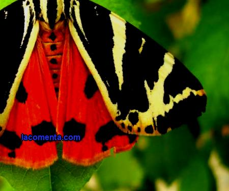 Bear butterfly: features, distribution, photo